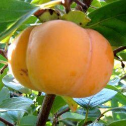 Japanska jabuka Jiro