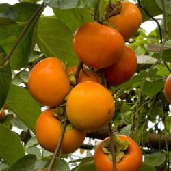 Japanska jabuka Vanilija