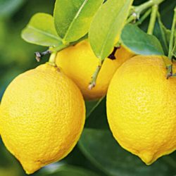 Prodaja sadnica limun Mesečar