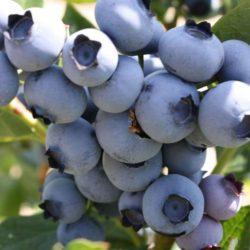 http://japanskajabuka.rs/wp-content/uploads/2017/10/sadnice-borovnice-blue-marry-250x250.jpg