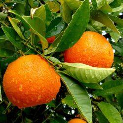 Sadnice pomorandže