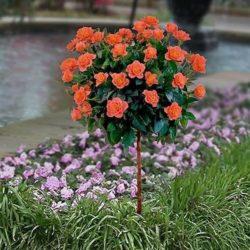 Sadnice ruža stablašica loptasta forma