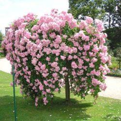 Sadnice ruža stablašica padajuća forma