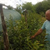 Kontejnerske sadnice Kaki jabuke